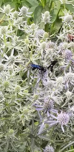 2 Native bees on Sea Holly