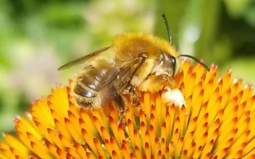 Bee with Hairy Front Legs