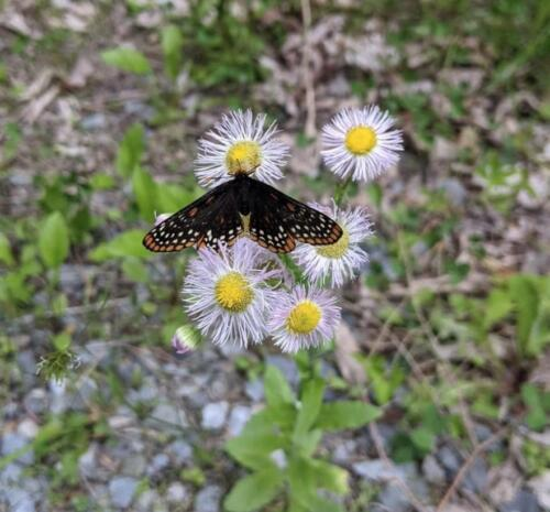 Baltimore-Checkerspot-Blutterfly-on-Dogbane