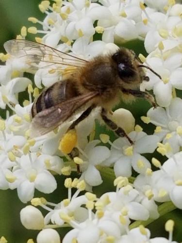 Honey bee on Elderberry